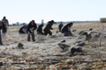 Aleutian Cackling geese in cannon net (28014867974).png