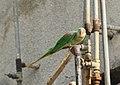 Alexandrine Parakeet (Psittacula eupatria) (41712681491).jpg
