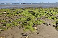 Algae in Studland.jpg