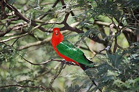 Alisterus chloropterus -Grant's picnic ground -in tree-8.jpg