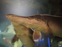 Alligator gars CAS 1.JPG
