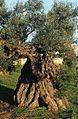 Alliste. Olivo della Linza.jpg