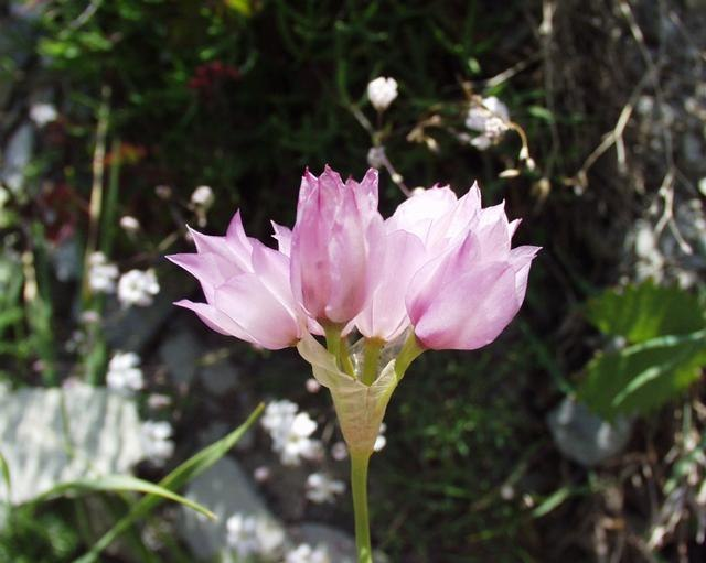 Allium narcissiflorum31072004fleurp%C3%A9doncules