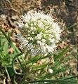 Allium nutans inflorescence2.JPG