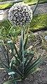 Allium porrum-1F.jpg
