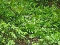 Allium ursinum 126665370.jpg