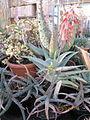 Aloe (4283544202).jpg