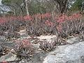 Aloe chabaudii at Gorongosa (4403194355).jpg