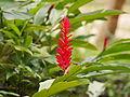 Alpinia purpurata in Malaysia 2.JPG