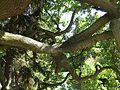 Alter Baum Astverzweigung.jpg