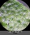 Alyssum alyssoides sl12.jpg