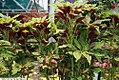 Amaranthus tricolor 2zz.jpg