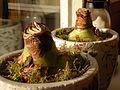 Amaryllis bulbs.jpg
