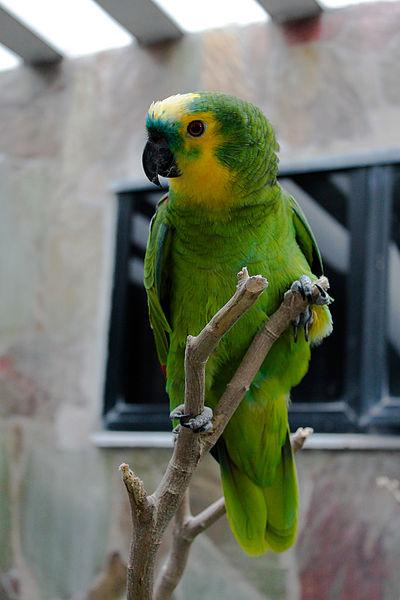 File:Amazona aestiva -captive-8a (1).jpg