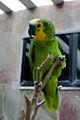 Amazona aestiva -captive-8a (1).jpg