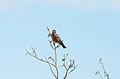 American Robin (9514389108).jpg