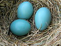 American Robin Eggs in Nest.jpg