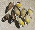 Amphidromus quadrasi IMG 5402 Beijing Museum of Natural History - Natural History Museum of Guangxi.jpg