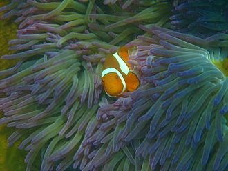 Fitzroy Island National Park - Clownfish at Welcome Bay, Fitzroy Island