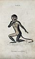 An ape of the genus cercocebus fuliginosus kneeling on the g Wellcome V0020760ER.jpg