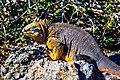 An excursion to Isla Plaza Sur - Land Iguana (16472740427).jpg