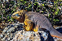An excursion to Isla Plaza Sur - Land Iguana (16472740427).jpg