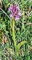 Anacamptis pyramidalis 67.jpg