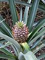 Ananas comosus Frutigen.jpg