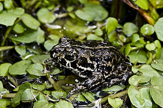 Black toad species of Amphibia