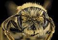 Andrena hilaris, M, Face, South Carolina, Chesterfield County 2014-02-11-16.31.45 ZS PMax (12542953753).jpg