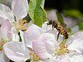 Andrena melittoides male 1.jpg