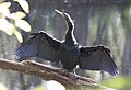 Anhinga, Hillsborough SP, Florida, 30 December 2016 (32669409062).jpg