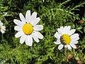 Anthemis pseudocotula 1.JPG