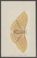 Antheraea - Print - Iconographia Zoologica - Special Collections University of Amsterdam - UBAINV0274 003 05 0043.tif