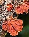 Anthracophyllum archeri 111353.jpg