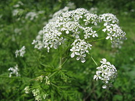 Anthriscus sylvestris Japan5.JPG