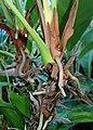 Anthurium andraeanum kz04.jpg