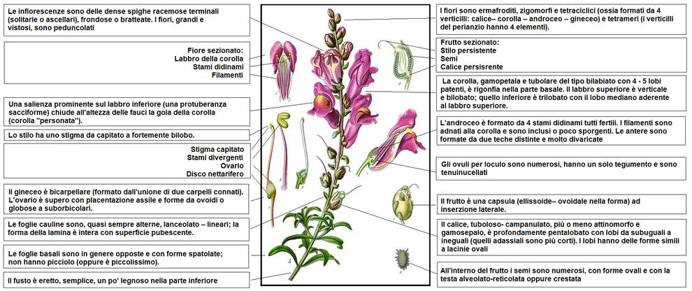 Fiori Zigomorfi.Antirrhinum Majus Wikipedia
