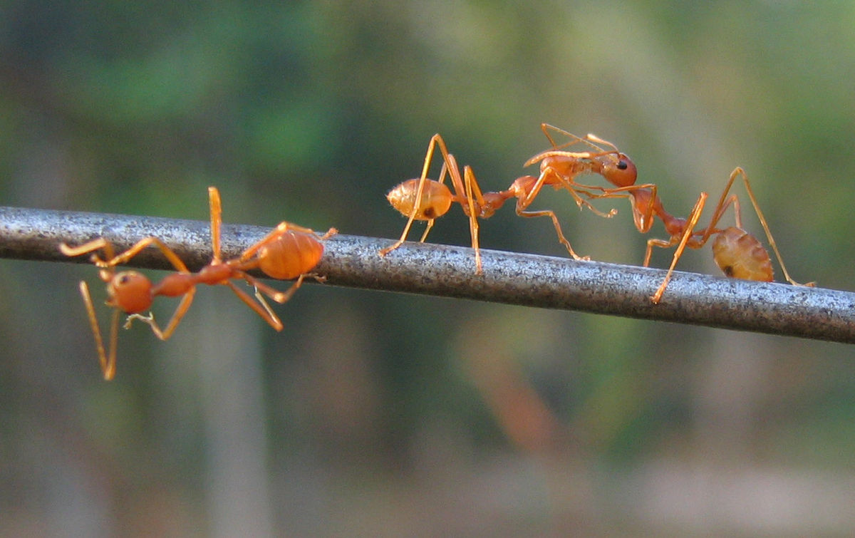 File:Ants playing.jpg
