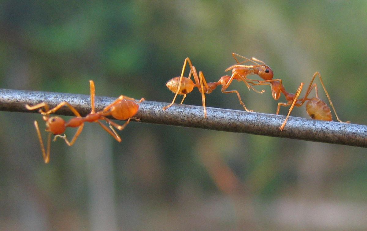 File:Ants playing.jpg