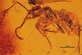 1868 in paleontology - Aphaenogaster sommerfeldti