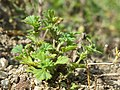 Aphanes australis sl4.jpg