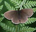 Aphantopus hyperantus (Ringlet) - Flickr - S. Rae (1).jpg