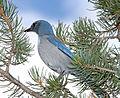Aphelocoma woodhouseii, Barraca Mesa, Los Alamos, New Mexico 1.jpg