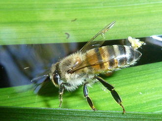 African bee - Worker bee (sterile female) drinking water
