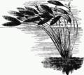 Aponogeton distachyon drawing.png