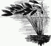 Aponogeton - Chi Aponogeton 220px Aponogeton distachyon drawing