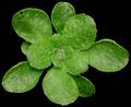 Arabidopsis thaliana rosette.png