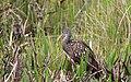 Aramus guarauna (Limpkin) 42.jpg