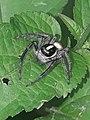 Aranha saltadora.jpg